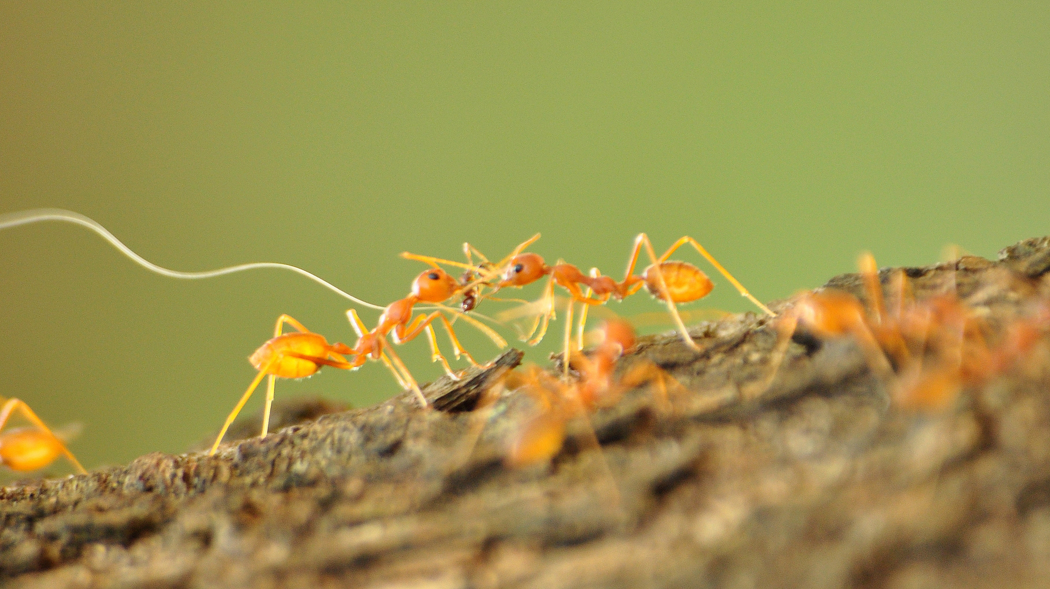Walking with Fire Ants